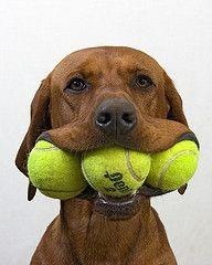 1-16-13 DOG W 3 TENNIS BALLS